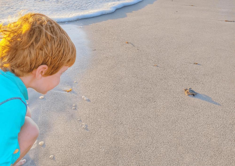 2020 recap sea turtles hatching